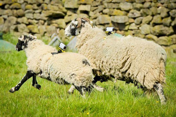 sheepcamera4