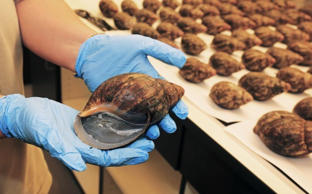 Giant Snails Seized