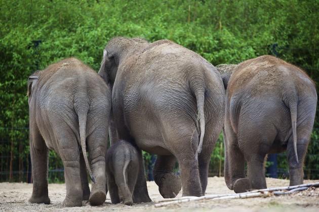Elephant Calf at DublinZoo 012