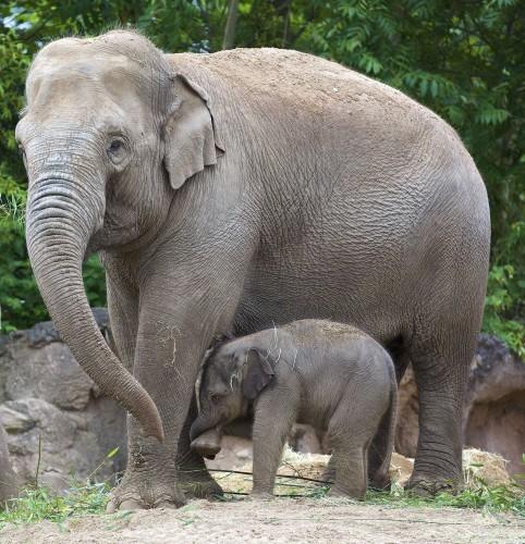 Elephant Calf at DublinZoo 007 (1)