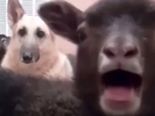 Lorde Meets A Sheep In The Most Hypnotic Terrifying Vine You Ll See Today