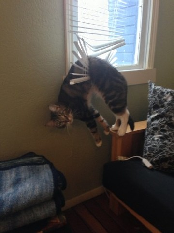 He required help to get down. Fortunately, no permanent damage to the cat or the blinds. - Imgur