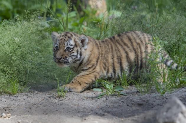 Russia Amur Tigers