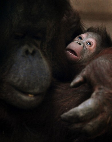 Baby orangutan at Twycross Zoo
