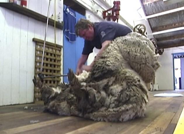 Australia Woolly Sheep