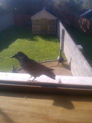So the crazy crow woke up our house this morning