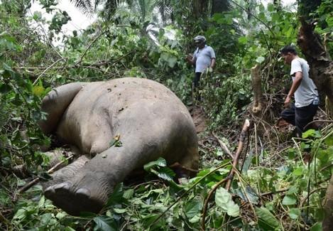 Indonesia Elephant Dead