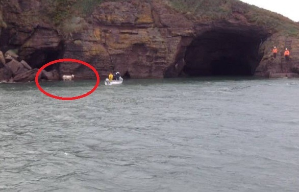 Dunmore East RNLI rescues stranded cow