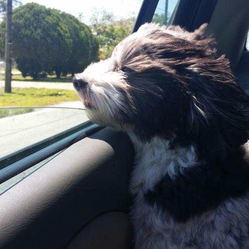 my dog enjoying some wind