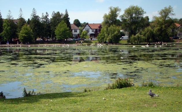 Algae on Roath Park Lake