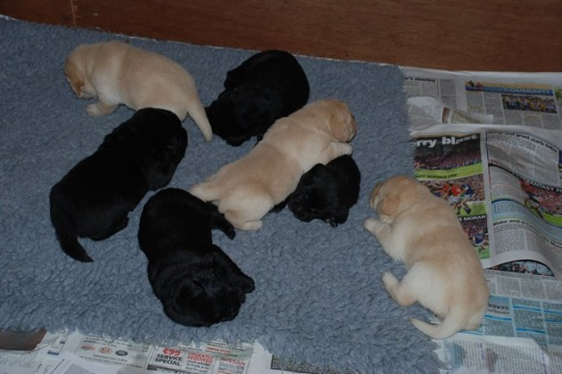 Quigley, puppy in training for The Irish... - Quigley, puppy in training for The Irish Guide Dogs for the Blind   Facebook