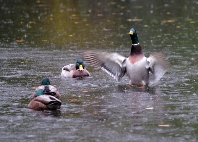 Dublin Weather Scenes. Pictured ducks