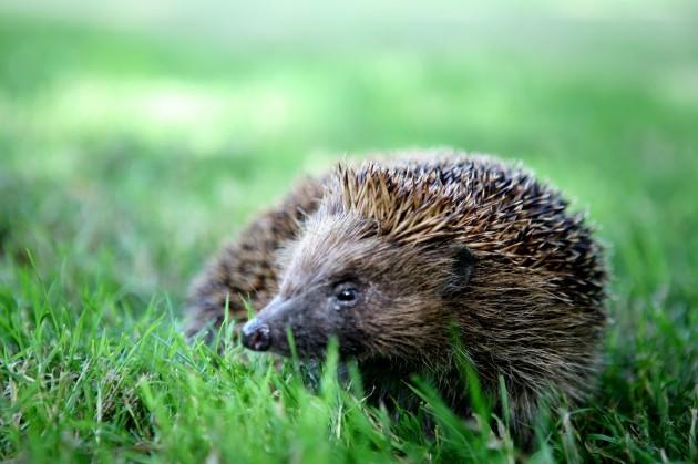 ISPCA Calendar 2015 Hedgehog