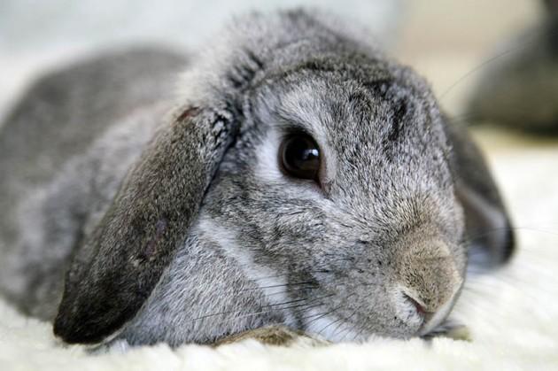 ISPCA 2015 Calendar bunny