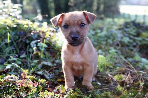 ISPCA Calendar 2015 Puppy