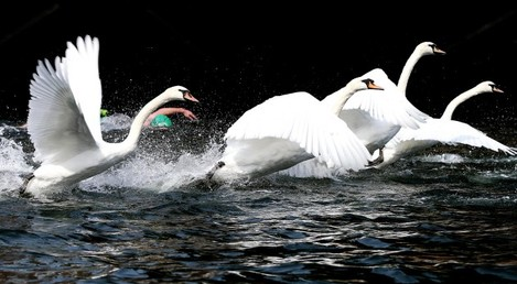 Competitors and swans during the Liffey Swim