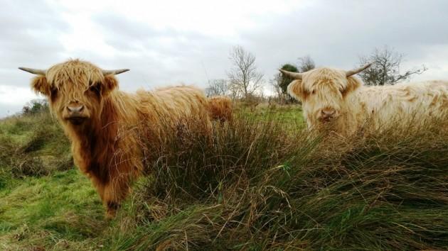 Pollardstown Fen Yearling Highlands 2