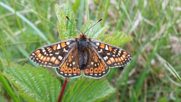 Marsh Fritilliary Butterfly