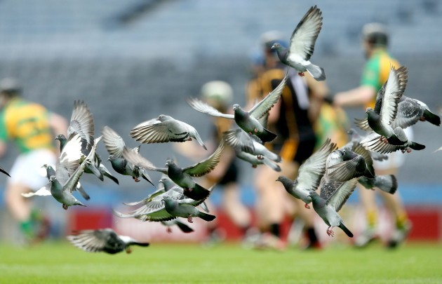 Pidgeons on the pitch during the game