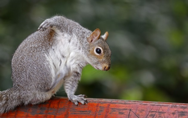 South Africa Squirrels