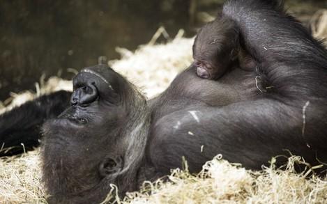 Lincoln Park Zoo New Gorilla Baby