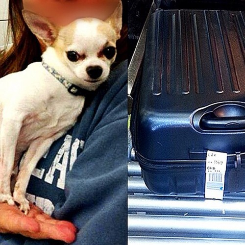 #TSATravelTips - Ay, #Chihuahua! It's always important to double check your bags before traveling, especially to make sure your Chihuahua hasn't stowed away inside one of them. That's exactly what happened this week at #NewYork's #LaGuardia (#LGA) Airport. While resolving a checked baggage alarm, an officer was shocked when he found a dog in the bag! Apparently, the dog climbed in while its owner was packing her suitcase. TSA worked with the airline to identify the owner, and the two were happily reunited. #DogsOfInstagram #TSAGoodCatch