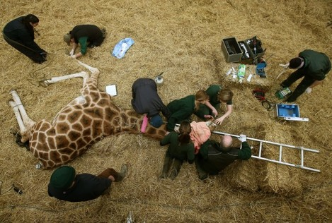 Dental work for Kelly the giraffe