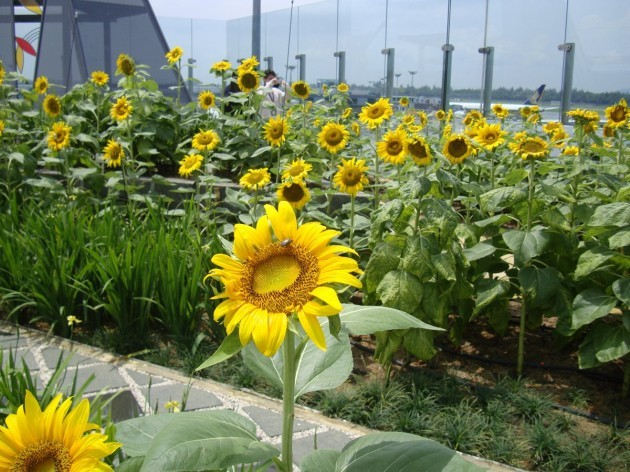 the-airport-has-a-nature-trail-which-encourages-passengers-to-go-outdoors-and-breathe-in-fresh-air-while-at-the-airport-there-are-five-gardens-in-the-airport-including-a-rooftop-sunflower-garden