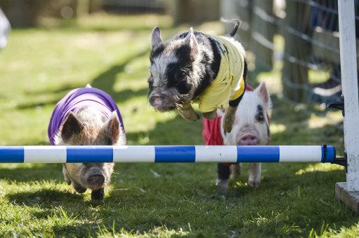 General Election pig race