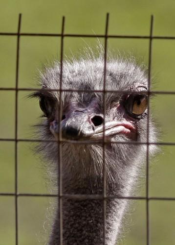 South Africa Ostrich