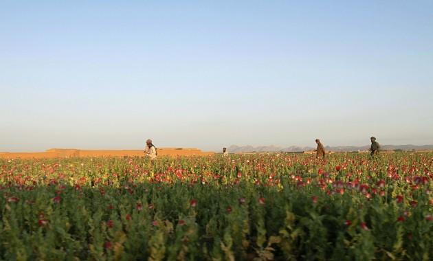 Afghanistan Poppy Harvest