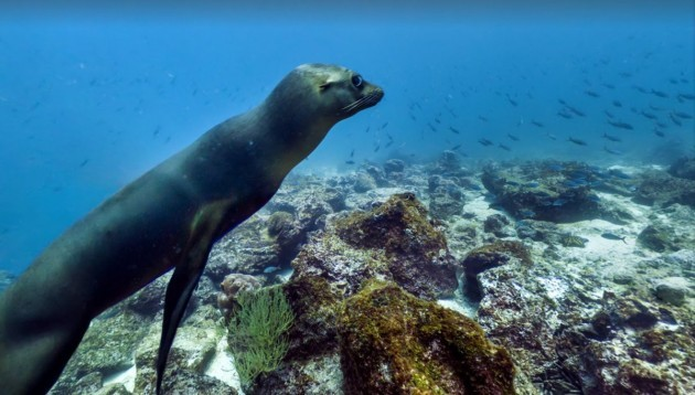 this-little-chap-was-spotted-swimming-alongside-schools-of-fish-around-the-isla-campion-in-the-galapagos-islands