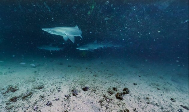 you-can-find-these-harmless-grey-nurse-sharks-off-the-coast-of-maroubra-australia