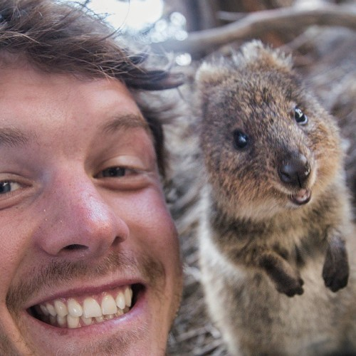 Face to face. That's a super rare teeth grinning adorable Quokka on the left... (yes the left) and some guy with his mouth open on the right.