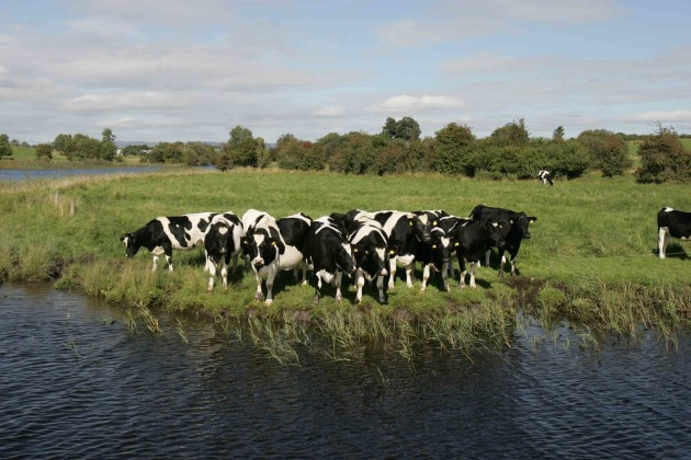 File Photo: A dairy cow has died on a farm in Coun