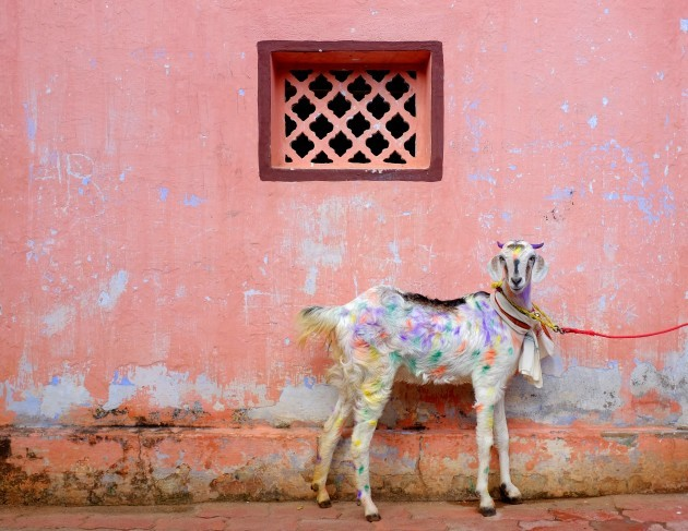 A colorful goat