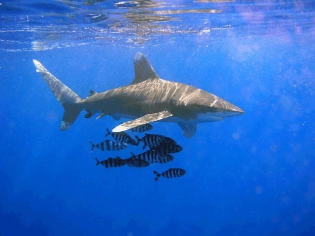 SHARK 12
