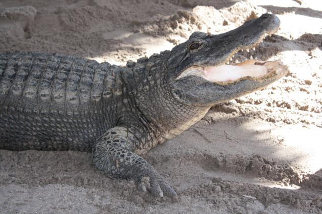 Alligator far and air boat