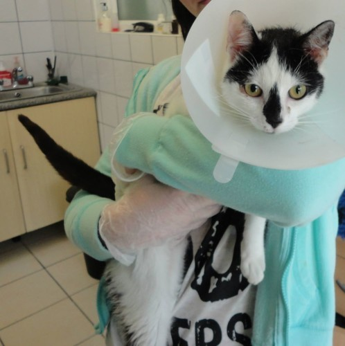 Female cat 10-12 months old, found 19th June in Sandyford D18