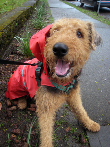 Airedale in a Raincoat