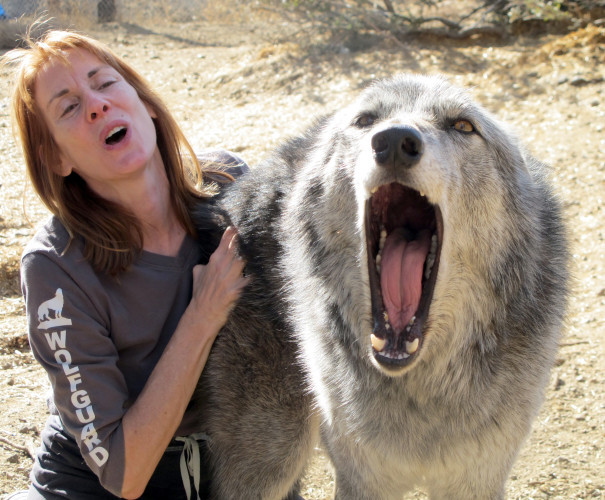 Pets Wolf Dogs