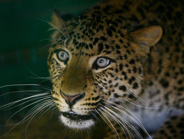 Northern Chinese Leopard believed to be first in UK