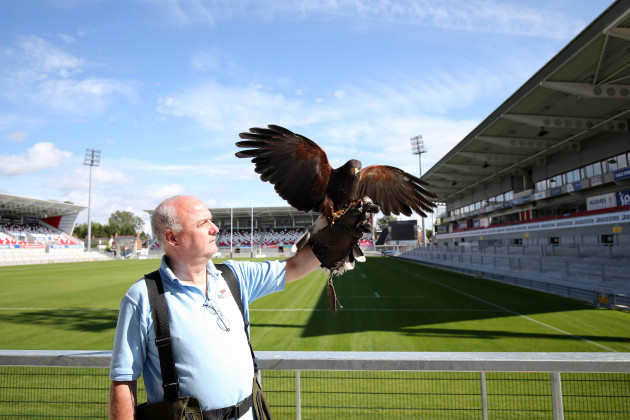 The hawk that has been employed to deter birds from Kingspan Stadium