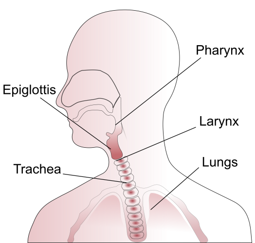2000px-Throat_anatomy_diagram.svg