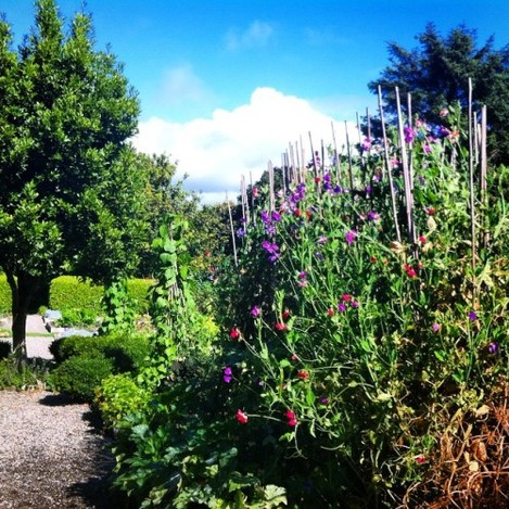 Now that's what I call a Sweet Pea tower! #sweetpea #summerdays #westcork #baltimore #ireland