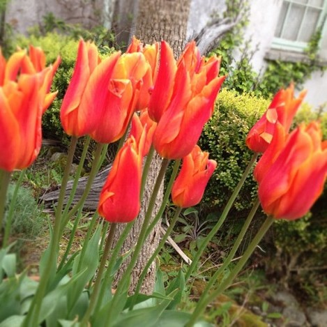 No better sight than a planned #tulip invasion.