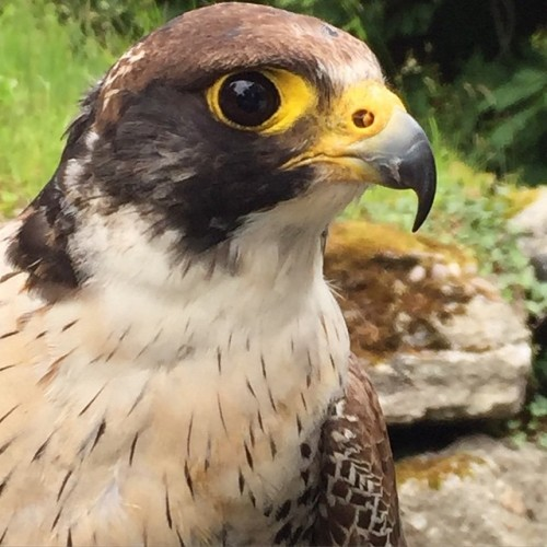 Peregrine falcon, close up. #ballyfin #woodlandsfalconry