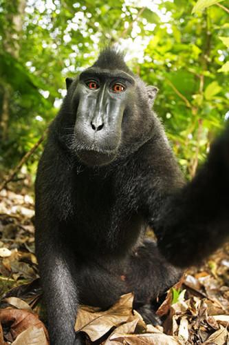 monkey selfie - 2