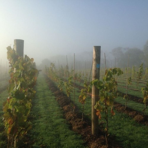 Vines in a fog