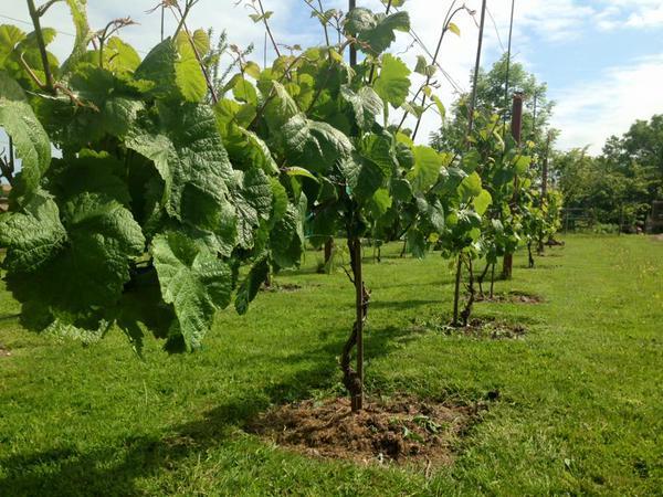 Rondo vines